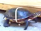 Turtle with skateboard modification is a lot faster.