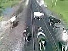 Drunk Russian train engineers brutally hit a herd of cows.